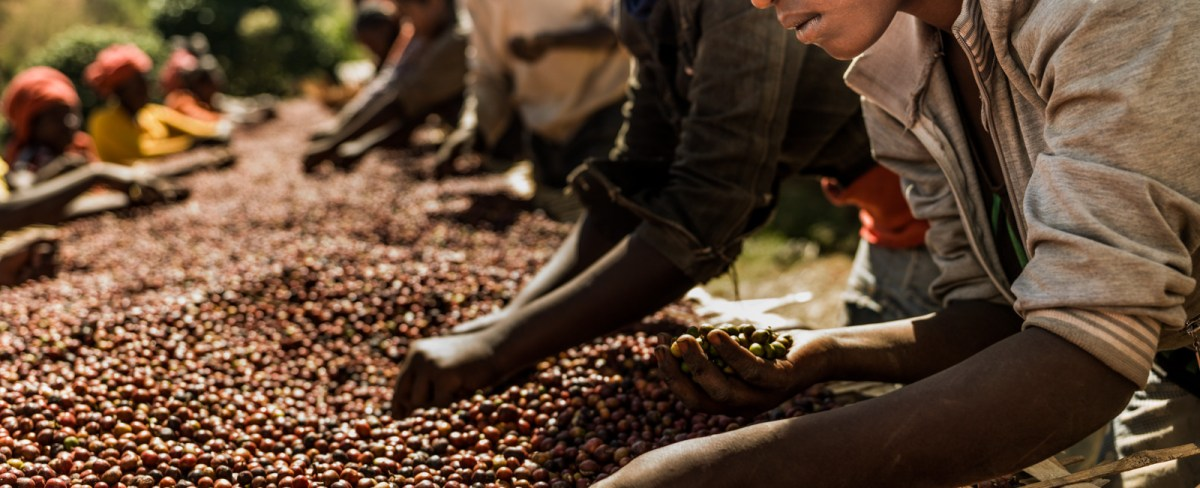Coffee-producing countries: Africa