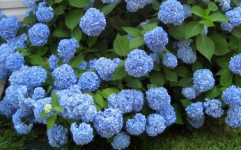 These aren't mine but I did have years when my bushes were this beautiful.