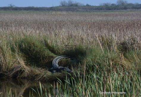 Alligator in BNWR
