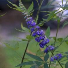 Chaste Tree Flowers