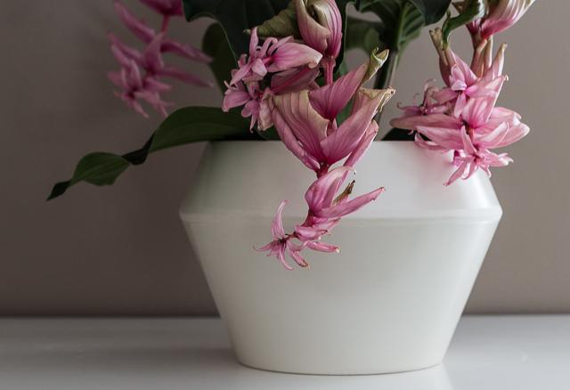Medinilla kasvi-5