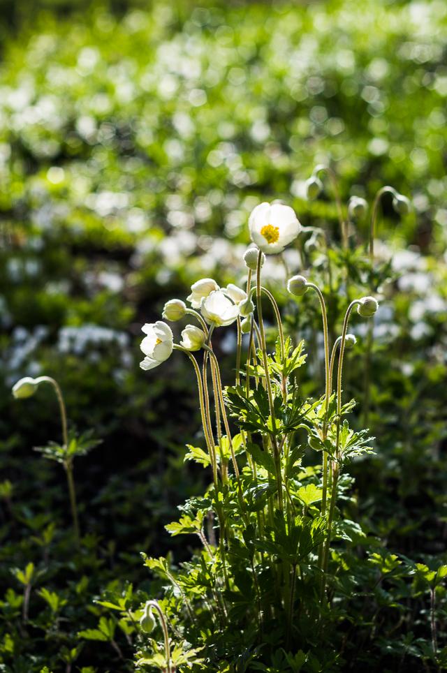 Puutarhassa kukkii 2017-4