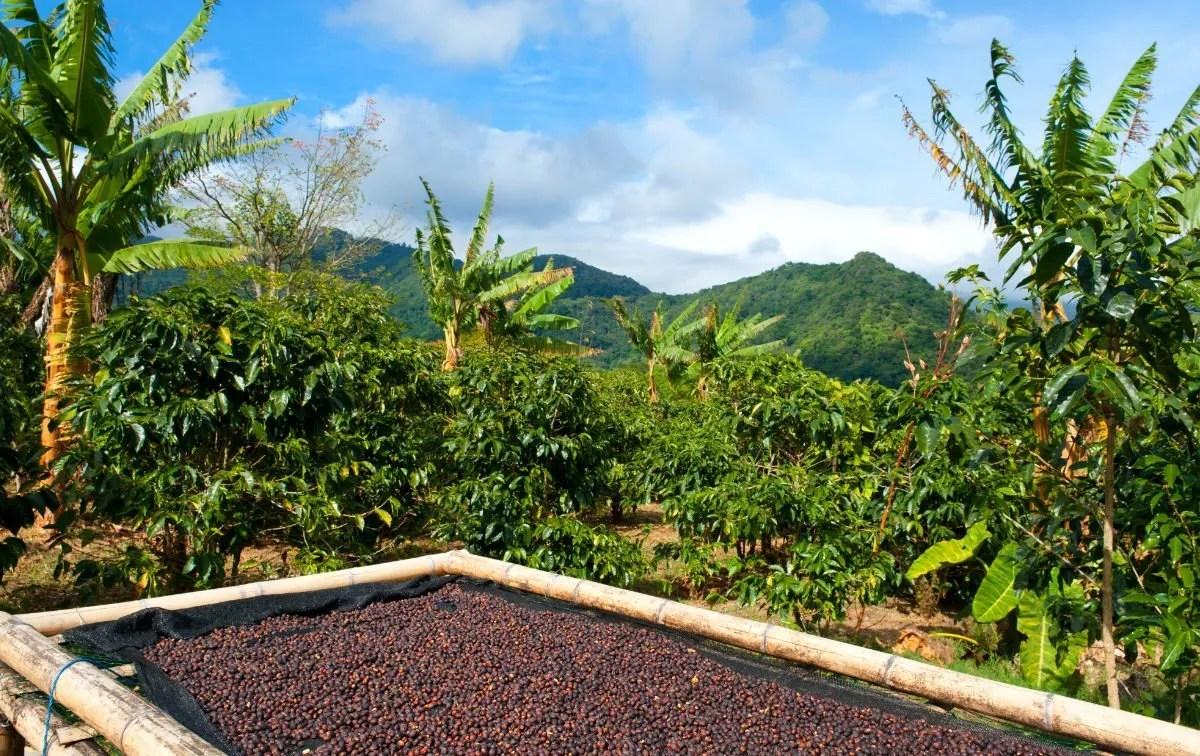 Panama Geisha coffee post harvest