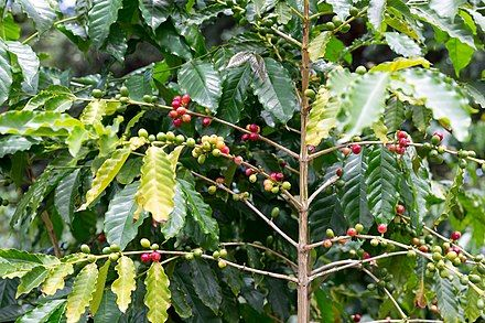Kona_Coffee_fruits