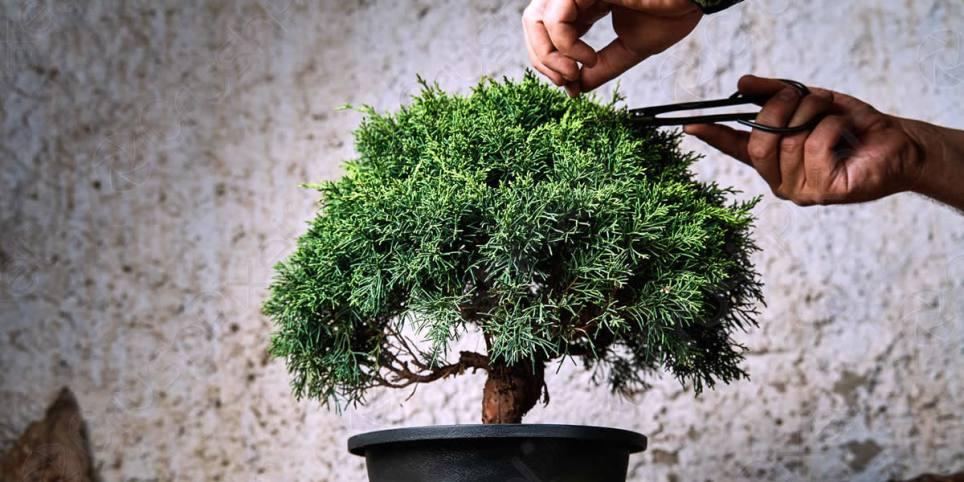 подрезка дерева бонсай как метафора работы мозга
