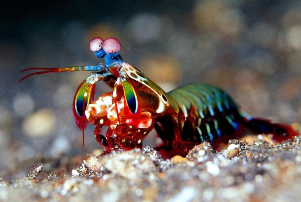 Langosta mantis