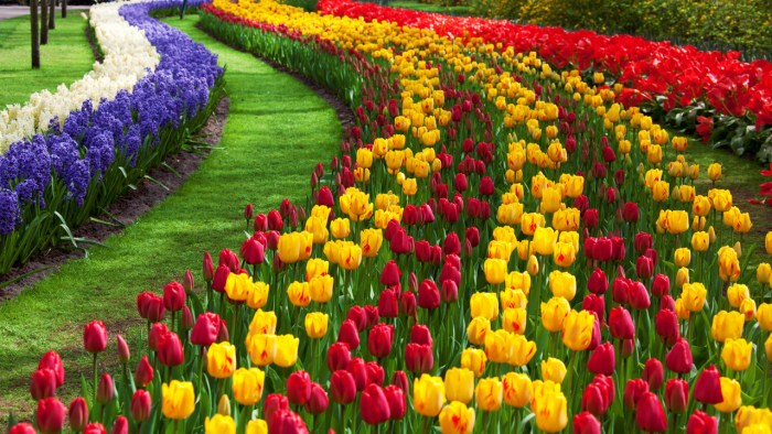 tulips mania in netherlands