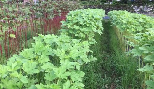 オクラ4000本植えたら、7月は毎日何本くらい収穫できる?