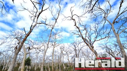 State Environment Minister Lisa Neville confirmed authorities culled more than 680 koalas from Cape Otway in 2013 and 2014. Environmental experts supported the decision, saying the koalas were likely to die from starvation after years of overeating destroyed manna gum trees.