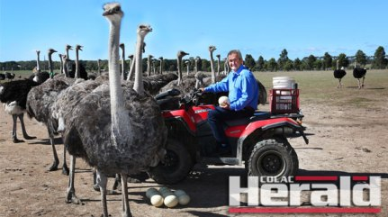 Michael Hastings farms more than 3000 ostriches on his farm at Winchelsea.