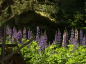 lupines6