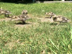 Ducklings getting bigger by the day