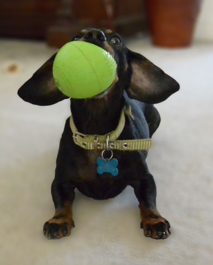 Bronnie the dachshund with his ball in his mouth