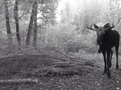 Moose caught on Trail Cam north of McFarland Lake