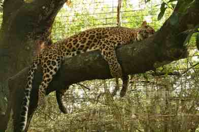 Cheetaro a rescued leopard