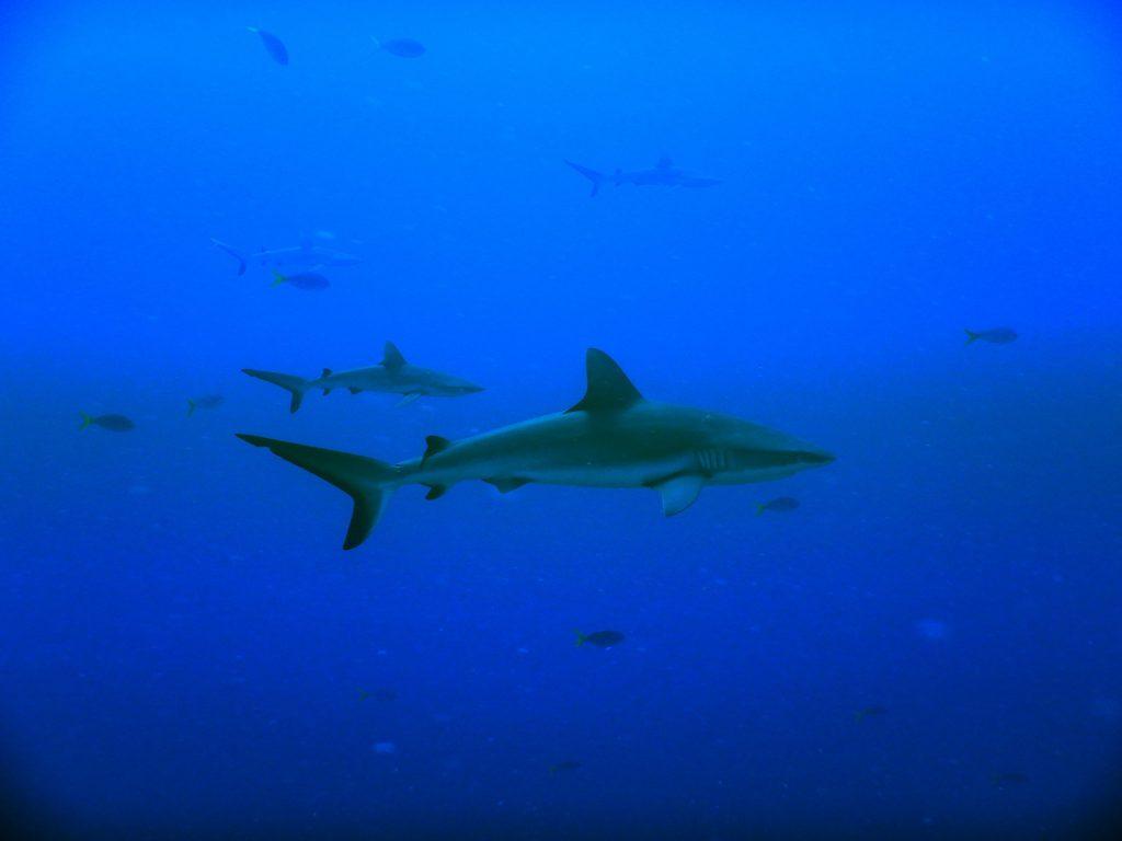 Tiburón gris de arrecife