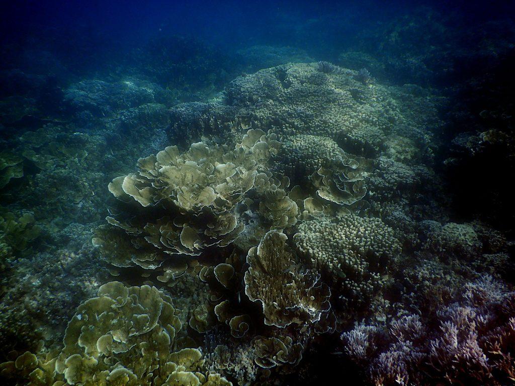 Corales col en Rose Garden