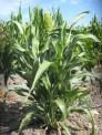 Field Grown Sorghum