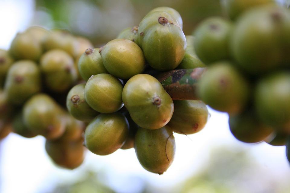 Robusta Beans on the vine