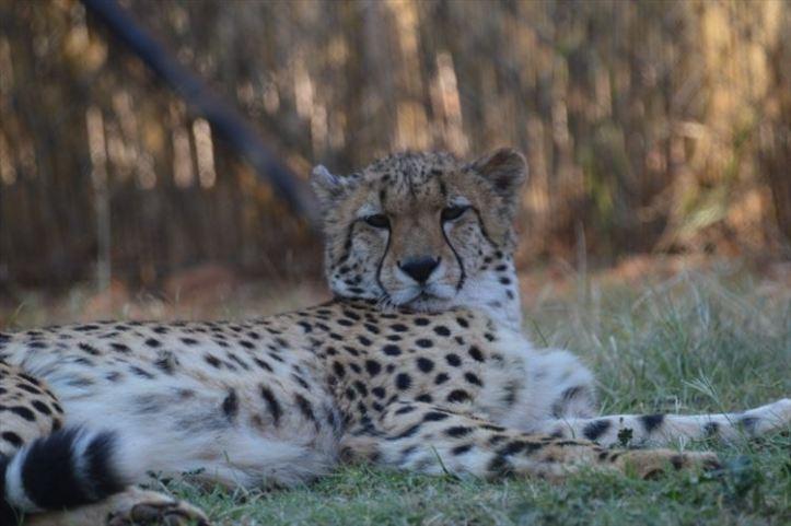 ann-van-dyk-cheetah-centre-image-2_880x500