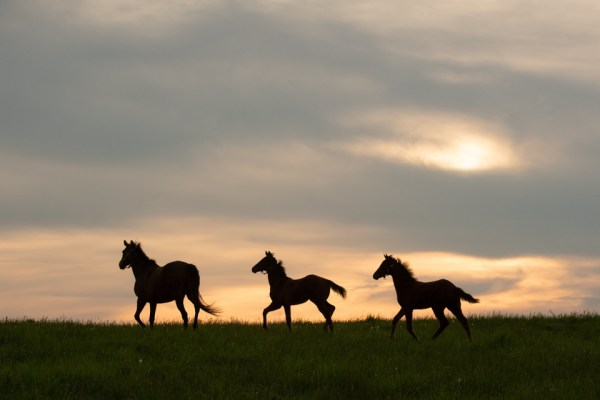 Mare and Foals Silhouette