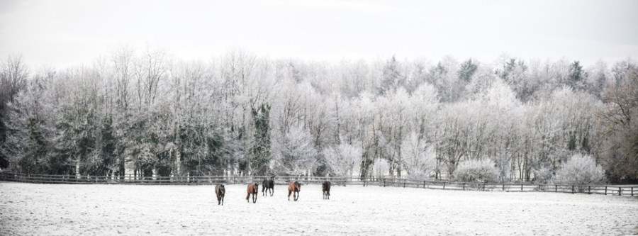 Yearlings in the snow