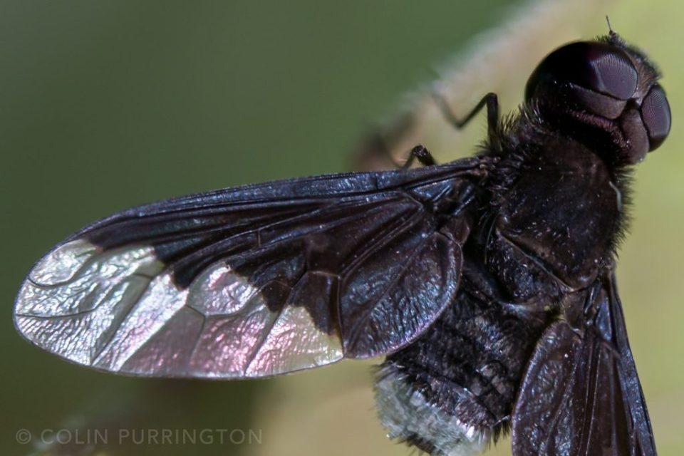 Anthrax georgicus wing close-up
