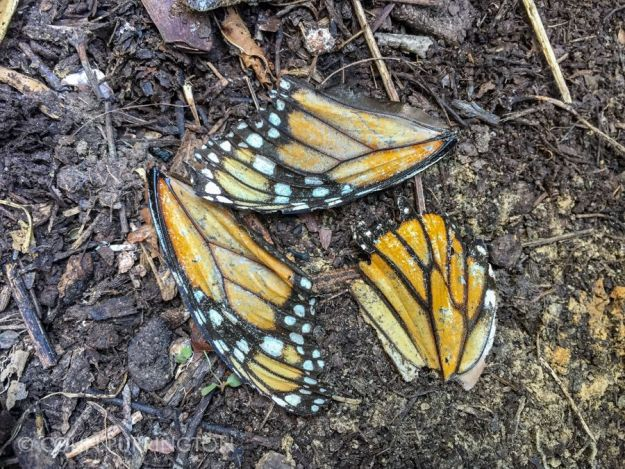 Monarch butterfly wings left by Chinese mantid predation