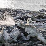 Galapagos marine iguana sneezing