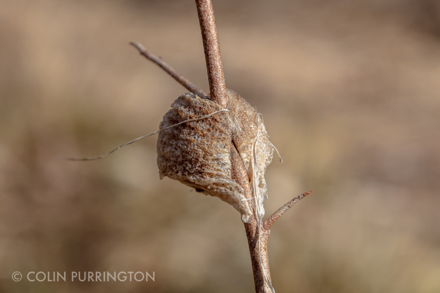 Identifying Mantid Egg Cases In Pennsylvania Colin Purrington
