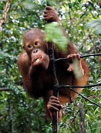 orang-utan-palm-oil