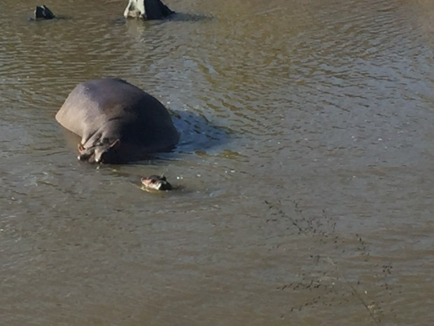 hippo and baby hippo