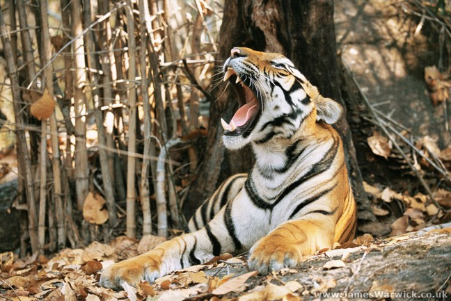 Yawning at Tigers by Drew Dyck