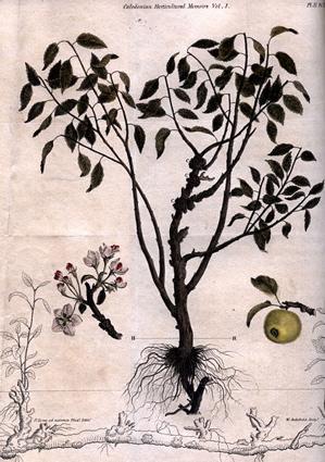 archibald_apple_tree.jpg