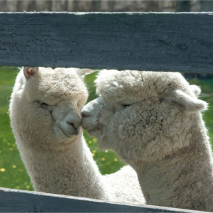 Two white alpaca nuzzling noses or kissing by a fence
