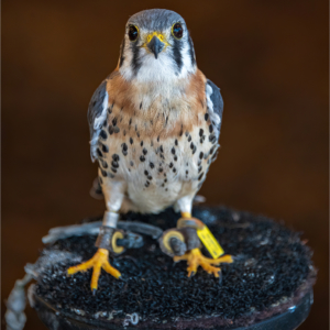 Little hawk, chained or shackled, sitting on a stump