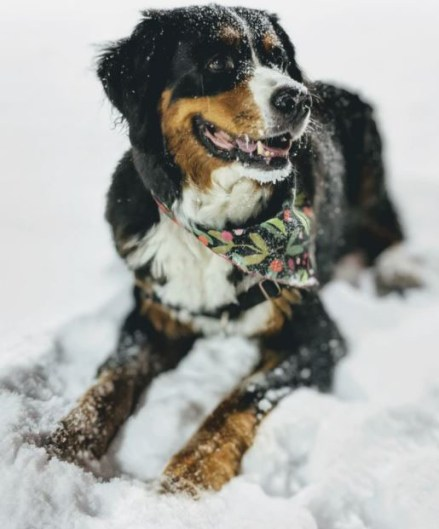 Dog playing in snow with Christmas bandana