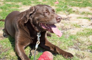 chocolate lab dog kong