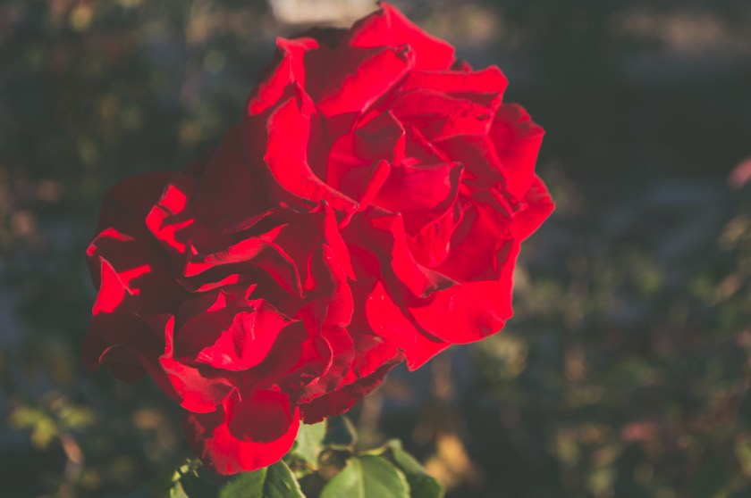 Red roses in Palisades Park in Santa Monica, California | ColleenWelsch.com