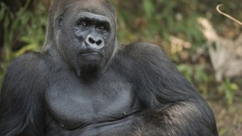 Ohio Man Arrested for 'Acting Like a Gorilla' and Jacking Off in Public… Like a Gorilla