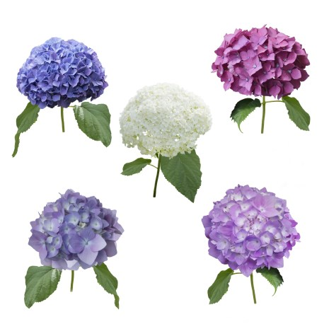 Five different colored hydrangeas laid out in three shades of purple, one pink and one white.