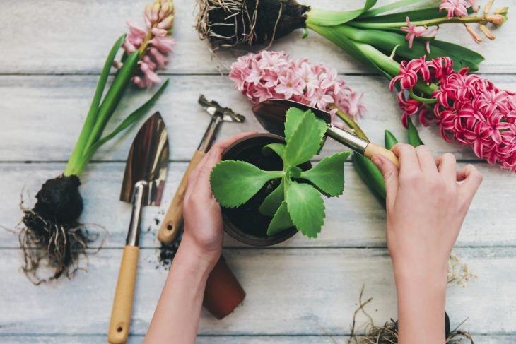 Woman's Hands Planting Pink Spring Flowers