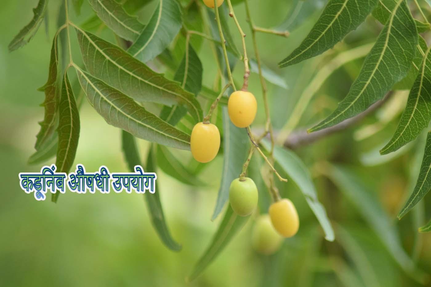 Kadunimb Tree Information Neem Tree Uses in MarathiLanguage