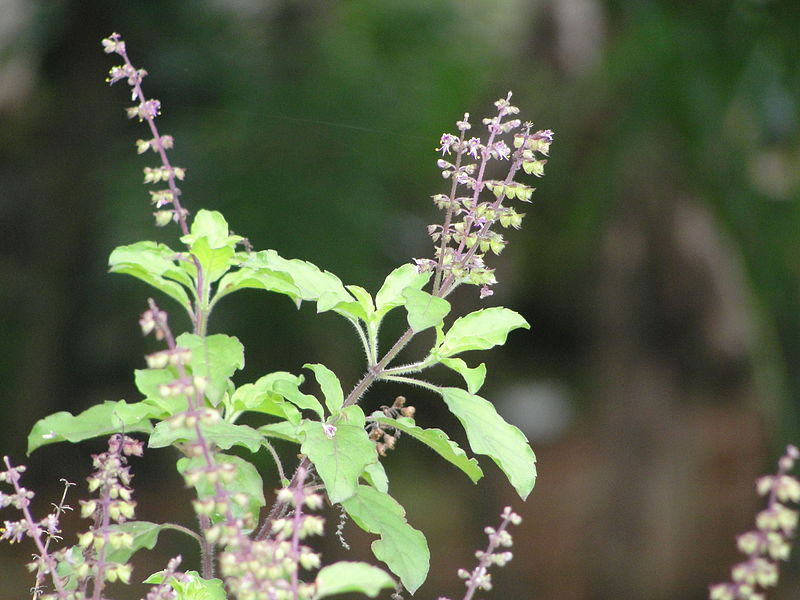Tulas Ayurvedic Vanaspati Tulsi Plant Information in Marathi Language