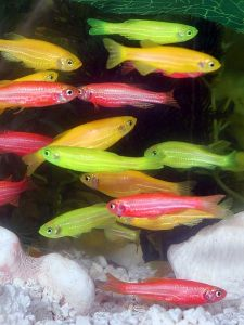 GMO fish from GloFish.com