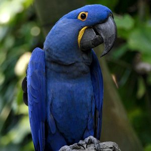 This hyacinth macaw is not blue. (Photo by Hank Gillette)