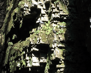 Rock Doves at home in Ausable Chasm
