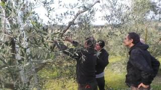 corso potatura olivo