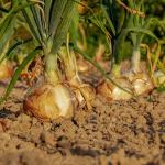 AGRICOLTURA, 200 MILIONI DI EURO SARANNO EROGATI NELLA NOSTRA REGIONE
