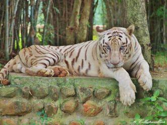 Der weiße Tiger im Bannerghatta Biological Park